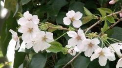 春らしい桜_05