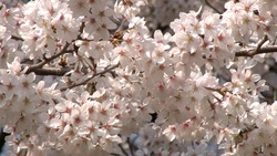 Spring cherry blossoms and a blue sky _ 06