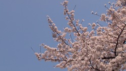 Spring cherry blossoms and a blue sky _ 01